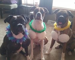 12 Costumes That Prove Why Boxer Dogs Always Win At Halloween