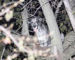 Firefighters Come To The Rescue Of 120-Pound Great Dane Stuck In A Tree