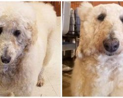 Dog Groomer Transforms Poodle Into Polar Bear In Hot New Trend