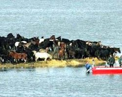 Rescuers fail to save 200 horses stranded on small land – then 7 women come up with unexpected plan