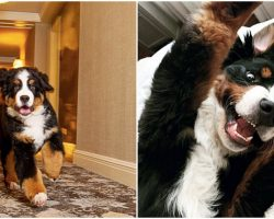 Loveable Bernese Mountain Dog Lives At Hotel, Cuddles Guests Every Chance He Gets
