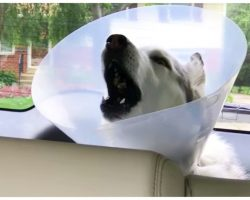 Husky Hysterically Complains About 'Cone Of Shame' As Anesthesia Wears Off