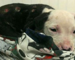 Injured Pit Bull Puppy Saved From Fire Is Now An Official Firefighter Himself