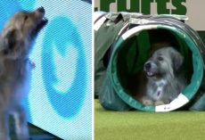 Dog Breaks All The Rules During Agility Run And Has Fun Doing So