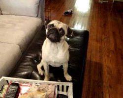 Mango The Pug LOVES Bath Time. The Pug Head Tilt Is So Unbearably Cute!!