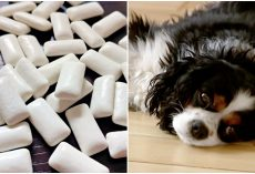 Dog Almost Dies After Eating Sugar-Free Gum – Owners Urging Others To Be Aware