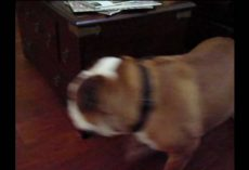 Perpetual Motion Bulldog Can't Be Stopped!