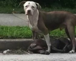 Loyal Pit Bull Stands Guard Over His Companion After She Was Hit By A Car