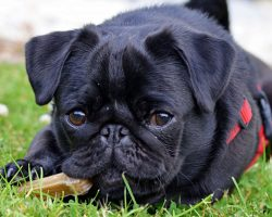 Debt Collectors Seized Family's Beloved Pug – Then Sold Her On eBay