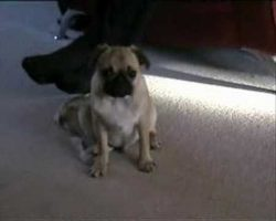 Pug Fights Hard From Falling Asleep! So Cute!