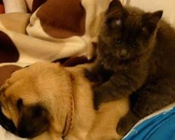 Pug Gets Massage From Cat… And Starts Snoring! OMG! Too Cute & Funny!!