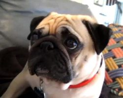Pug Gets Scolded – Takes it Hard
