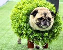 Pugs are adorable no matter what, but they're even more precious when they're in Halloween costumes!!