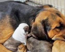 Rescue Dog Just Saved From Euthanasia Becomes Surrogate Mom To 5 Pit Bull Puppies