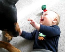 Rottweiler Causes Baby A Giggle Fit