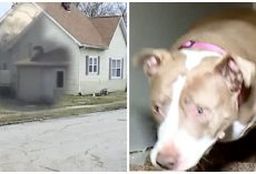 Hero Pit Bull Stops Burglar In His Tracks, Criminal Yells For Help From Cops