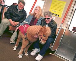 This Miniature Horse Wears Sneakers. Why? It's Part Of His Job…