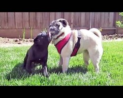 Senior Pug Shows Exceptional Patience With Curly-Tailed Pug Puppy Tornado (For A While Anyway…)