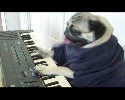 The Piano-Playing Pug
