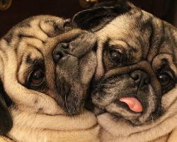 """These Cuddling """"Bonded Pair"""" Pugs Will Make You Smile, Guaranteed!"""