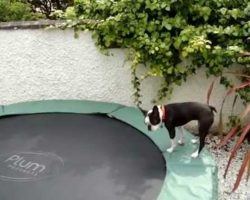 Tilly the Bouncing Boston Terrier Has A Blast On The Trampoline!