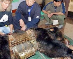 Bear Spent 9 Years In 'Torture Vest' – Finally Experiences Life Outside Of Cage