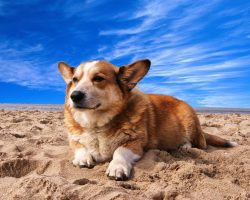 16 Reasons Corgis Are Not The Friendly Dogs Everyone Says They Are