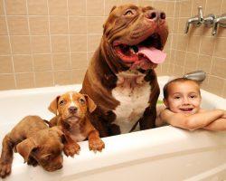 "World's Largest Pit bull ""Hulk"" Has 8 Puppies Worth Up To Half A Million Dollars"