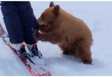 "Friendly Ski Resort Bear Cub May Be Euthanized For Being ""Too Nice"""
