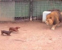 Tiny Wiener Dog And Massive Lion Come Face-To-Face, The Lion's Next Move Is Going Viral