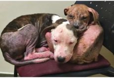 Forgotten Pit Bull Brothers Comfort Each Other While Waiting For Someone To Care