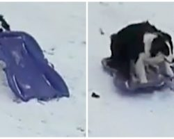 Snow-Obsessed Dog Tired Of Waiting For Mom Takes Herself Sledding