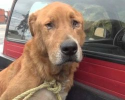 Emaciated & depressed senior dog found alone with parts of his coat missing