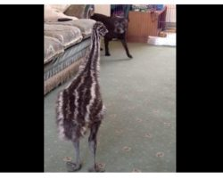 Baby Emu Loses It When The Dog Walks In The Room For The First Time