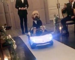 Debonair Doodle Stole The Show As He Drove Down Aisle At His Humans' Wedding