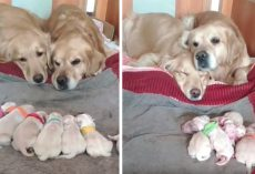 Golden Retriever Parents Watch Over Their Newborn Pups