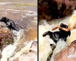 Labrador Sees Friend Drifting In The Rapids, Quickly Grabs Stick To Save Him