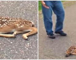 Man Sees Fawn Lying Motionless On The Road, Then Realizes He Needs To Act Fast