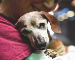 18-Year-Old Blind Dachshund Dumped At Shelter Clings To First Person Who Shows Her Love