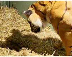 Tiger Gives Birth To Lifeless Cub & Leaves Caretakers Baffled When Mother's Instincts Kick In