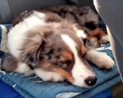Puppy's Sleeping In The Car When His Favorite Song Comes On The Radio