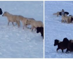 Boy Wants To Go Sledding, But Grandma Cracks Up When Her Mini Horses Try To Join In