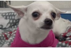 1-Year-Old Chihuahua Dumped At Shelter, Cries Herself To Sleep In A Pink Sweater