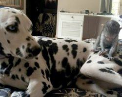 A Confused Monkey Tries To Scratch The Spots Off A Dalmatian