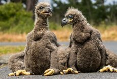 Woman Finds Adorable Baby Eaglets In Middle Of Road And Realizes They Need Her Help