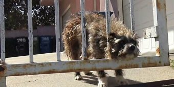 Abandoned Dog Dumped In Park Gazed Out Of Gate, Hoping Someone Would Help Him