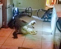 Homeowner frantically calls 911 after discovering 11-foot alligator in kitchen