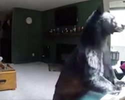 Family Checks Security Camera Footage And Sees A Bear Playing The Piano