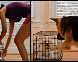 Smart German Shepherd Lets Maltese Out of Her Kennel