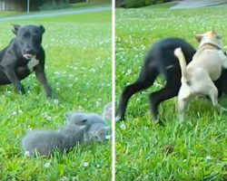 """Tiny Chihuahua Bravely Shields Little Kittens From The """"Attacks"""" Of A Large Dog"""